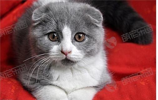 折耳猫不健康在哪里?