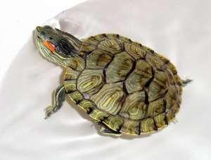 乌龟褪皮怎么回事